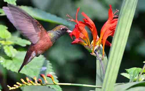Amazilia amazilia succhia il nettare di un fiore diCrocosmia
