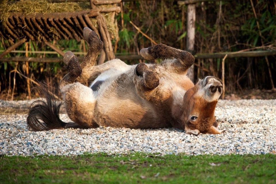 Cavallo di Przewalskii – © Claudia Rocchini