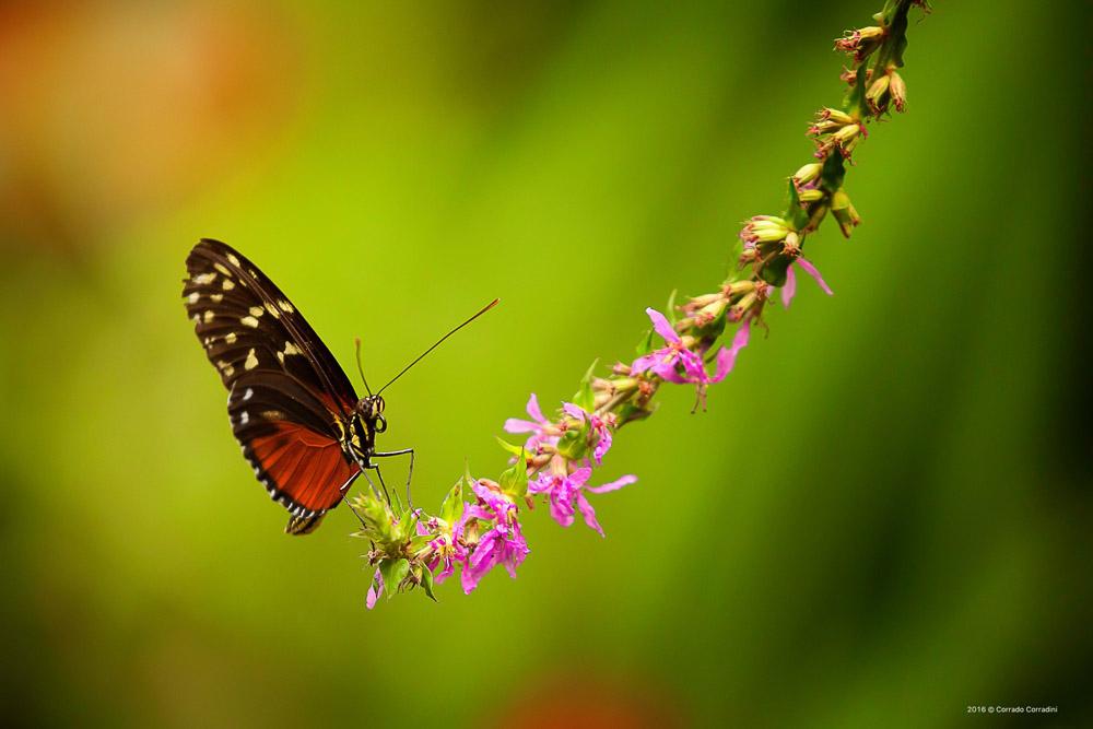 In agosto nuove schiuse di farfalle nella voliera - Immagini di farfalle a colori ...