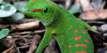 Felsuma del Madagascar