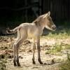 Prima nascita in italia: un puledro di cavallo di Przewalskij