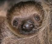 E' nato un cucciolo di bradipo didattilo