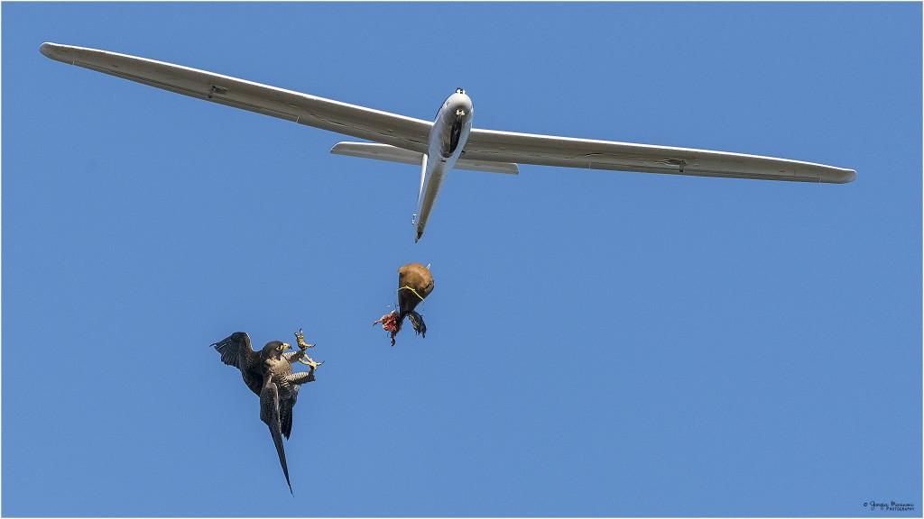 falco pellegrino Falco peregrinus